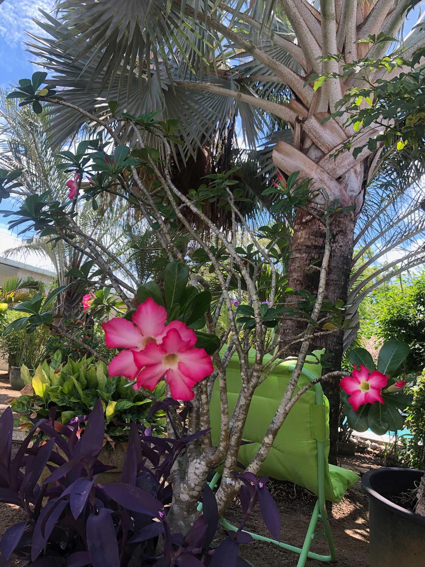 Gros plan sur les roses des sables fuschia et blanches sur fond de palmier bleu et autres plantes